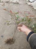 基地直销各种规格优质南天竹树苗、规格齐全