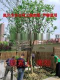苏州桂花树 大型桂花树种植基地 高杆精品桂花树苗圃