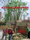 蘇州桂花樹 大型桂花樹種植基地 高杆精品桂花樹苗圃