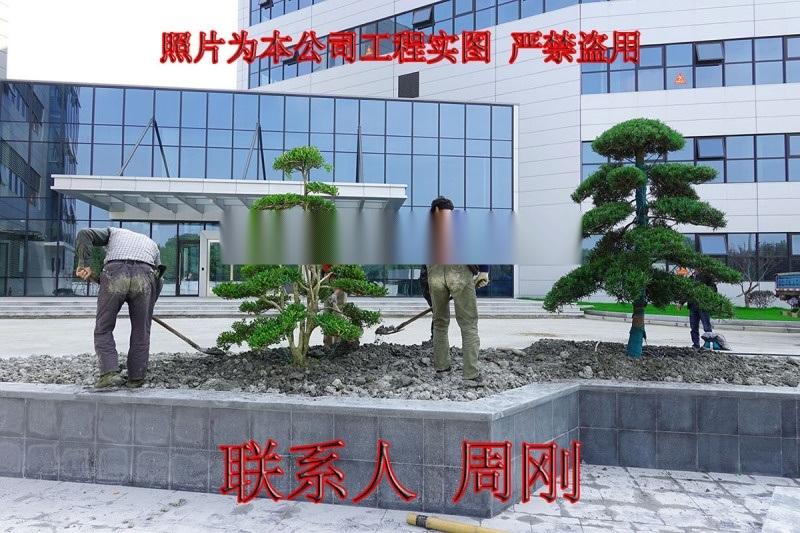 造型黄杨树 小叶黄杨树 瓜子黄杨树 造型黄杨桩盆景