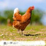 运城海兰褐青年鸡成活率 高产蛋率海兰褐青年鸡