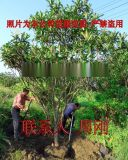 蘇州庭院果樹基地 白玉枇杷樹 柿子 橘子樹 桔子