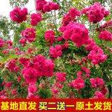 甜蜜紅木香花苗爬藤植物白黃木香花苗盆栽四季特大花攀爬濃香紅色