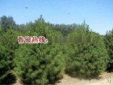 山東3米白皮鬆=泰安綠廣園林