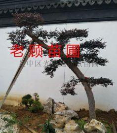 苏州景观造型树花木苗木批发