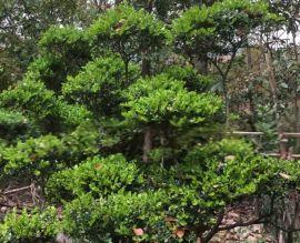 苏州造型景观树、苏州庭院别墅景观绿化工程、花园园林绿化工程、苏州桂花树