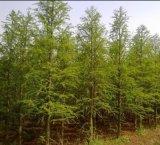 8公分水杉、9公分水杉