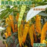 供應壽光尖椒苗   尖椒苗羊角型大果尖椒種子種苗