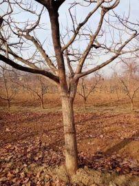 今年15公分柿子樹聯系電話===10公分柿子樹產地