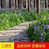 耐阴种子花种子二月兰