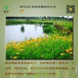 四川 种子 花种 金鸡菊