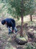 柳杉/胸径12公分柳杉/柳杉工程苗