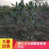 大量優質結果油橄欖樹苗