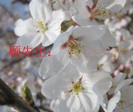 苏州私家庭院景观、别墅庭院景观绿化工程、景观树造型树市场、日本樱花树