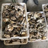 小型福建牡蛎清洗机  毛辊式海蛎子清洗设备厂家