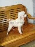 深圳訓犬鵬城k9快樂訓犬俱樂部貴賓犬訓練