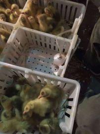 鸡苗运输箱雏鸡周转箱结实耐用鸡苗筐