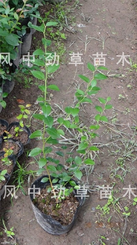 直銷藍莓樹苗 矮叢藍莓苗 批發 芬蒂 3年藍莓苗 基地現貨 果大