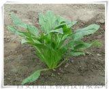 鲜菠菜提取物厂家10: 1