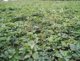 羌活种子种苗多少钱一斤? 河南新产一级种子种苗直销