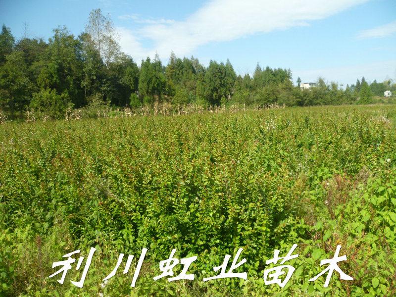 紫薇/紫薇树苗/地径1公分紫薇树苗