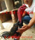 食用泰國鬼子雞常州各種鬥雞苗佳養殖多久
