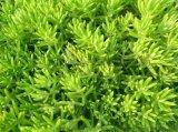 屋顶绿化植物 佛甲草 佛甲草图片价格 佛甲草直销基地