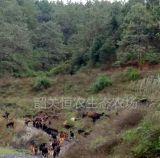 黑山羊养殖_优质黑山羊价格_黑山羊种羊_黑山羊肉羊