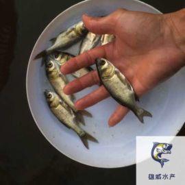 大頭魚苗批發花鰱魚苗出售四大家魚苗出售