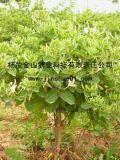 树形金银花(  3号)