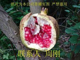 苏州石榴树、水晶石榴、红石榴、果石榴树、苏州绿化苗木