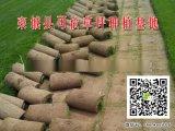 泰山草坪|早熟禾草坪基地|冷季型高羊茅草皮多少錢一平方