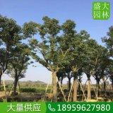 安徽20公分香樟假植苗,安徽香樟袋苗现挖现卖