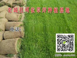 万柏林草坪   绿化草坪 哪里  批发早熟禾草籽