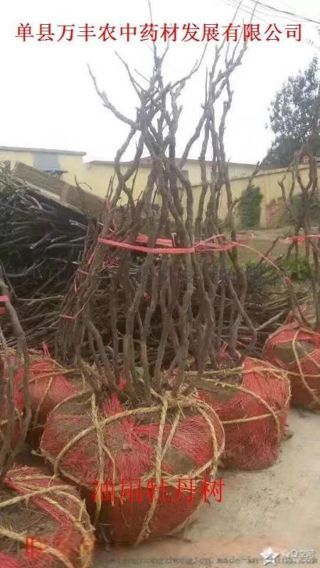 山東油用牡丹種苗樹