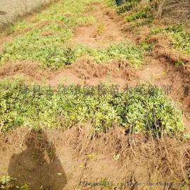 花椒苗产地 农户直销花椒苗
