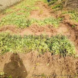 花椒苗產地 農戶直銷花椒苗