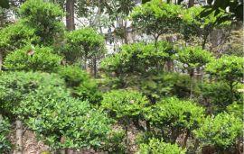 苏州景观造型树、造型瓜子黄杨树、别墅庭院景观造型小叶女贞黄杨、苏州苗圃苗木、苏州绿化工程