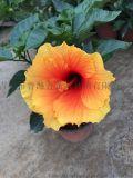 内蒙基地大量供应多个品种盆栽花卉扶桑