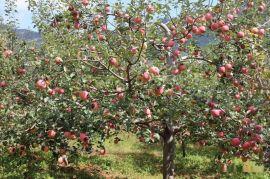 8公分苹果树价格+10公分占地苹果树价格=15公分苹果树价格