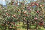 8公分蘋果樹價格+10公分佔地蘋果樹價格=15公分蘋果樹價格