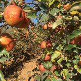 云南昭通苹果红富士苹果不套袋早熟苹果不打蜡原生态