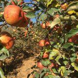 雲南昭通蘋果紅富士蘋果不套袋早熟蘋果不打蠟原生態