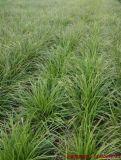 嶗峪苔草批發就找北京綠家