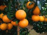 早熟杂柑高糖低酸中熟11月份成熟爱媛38号柑橘苗