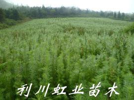 日本落葉鬆/30公分以上落葉鬆苗價格