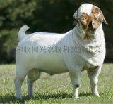育肥羊預混料怎麼選 赤樂川Y640了解一下