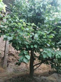 8公分杏树 10公分占地杏树 12公分杏树产地