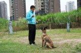 深圳訓犬鵬城k9快樂訓犬俱樂部馬犬訓練