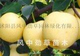 黄金梨树苗 嫁接苗梨子苗 现货 新品种树苗 水多香甜